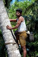 TODDY TAPPER ON COCONUT TREE, KUMBALANGHI MODEL TOURISM VILLAGE NEAR KOCHI