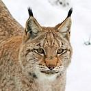 Europäischer Luchs  Felis lynx European Lynx • Baden_Wuerttemberg, Deutschland, Germany
