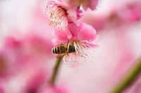 Shanghai, Plum flower, Honey Bee, Flower