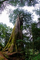 Asia, China, Taiwan, Chiayi, Alishan National Scenic Area, Giant Woods
