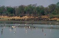 Herd of African buffalo Syncerus caffer and birds in the Luangwa river, South Luangwa National Park, Zambia