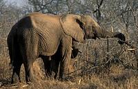 African Elephant, Loxodonta africana africana, Hlane Royal National Park, Swaziland