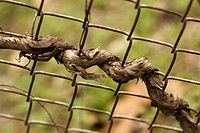 vine twists through chain-link fence