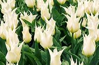 Tulipa ´Velvet Moon´ buds