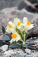 Japanese toadflax Linaria japonica flowers. Photographed in the Primorsky Territory, Russia.