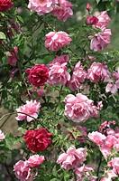Rose Gregoire Staechlin. Hybrid Tea.Pink. with Souvenir d´e Alphonse Lavallee Hybrid Perp