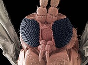 Fungus gnat. Coloured scanning electron micrograph SEM of the head of a fungus gnat family Sciaridae. At centre are the gnat´s compound eyes black, wh...