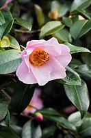 Camellia flower Camellia x williamsii ´Elizabeth Rothschild´.