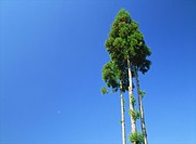 Tall trees against blue sky