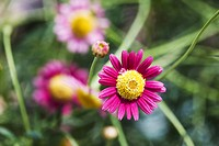 Pink daisy flowers blooming