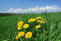 Yellow flowers in a meadow