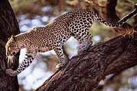 Leopard klettert Baumstamm hinunter