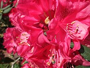Bluehender Rhododendron, blooming rhododendron