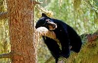 Junger Amerikanischer Schwarzbaer im Baum, young American Black Bear in a tree, Ursus americanus
