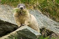 Murmeltier in den Alpen, Alpenmurmeltier Marmota marmota, heu eintragend, Nahrungserwerb, Bau winterfest machen, Nahrung, mit GRaäser im maul, Vorrats...