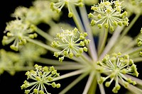 Close_up of Alliums flowers