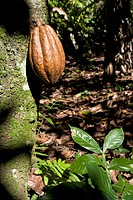 Dominican Republic _ Centre _ The Cibao _ Moka _ Cocoa