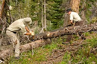 Park rangers cutting tree in forest, Weminuche Wilderness, Colorado, USA