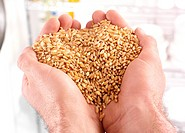 Handful Of Wheat Grains