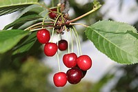 Cherries growing on a tree