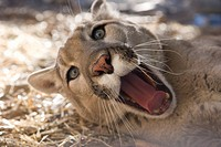 Mountain lion lying down and yawning