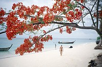 Tree with red flowers on tropical beach, Thailand