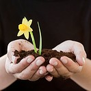 Woman cupping soil and daffodil bloom