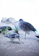 Two Sandpiper Birds on Beach