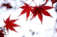 japanese maple, leaves, trees
