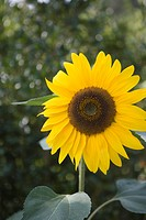 Close_up of sunflower