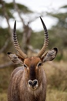 Close_up of an antelope