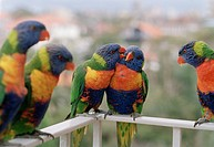 Close_up of five parrots, Rainbow Lorikeet, Trichoglossus haematodus