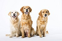Three Golden Retrievers