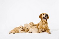 A Golden Retriever with her puppies