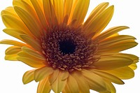 A Gerbera Daisy, close_up