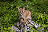 Canadian Lynx sitting on a rock