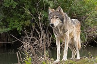 Grey Wolf close stands up near a river in a forested area, Animals, Behaviors, Behaviours, Canadian, Canids, Canines, Canis lupus, Carnivora, Carnivor...