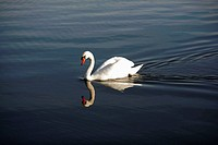 A mute swan cygnus olor on a lake in Northamptonshire, United Kingdom