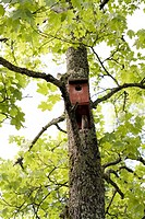 Nesting box in a maple tree.