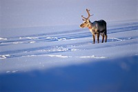 Reindeer in the winter.