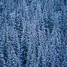 Spruce forest in the winter.