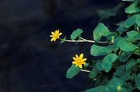Lesser Celandine , Ranunculus ficaria