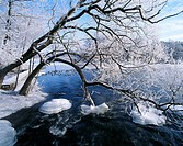 Branches hanging down in to the water in the winter