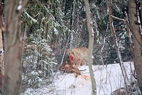 Lynx eating prey