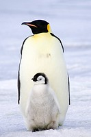 Empereor penguins the Antarctic