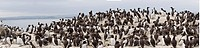 Northumberland, England, Flock of Guillemot