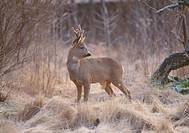 Deer standing in grassland