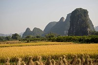 Rice field in Yanshuo, Guangxi, China