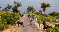 Rajasthan,India,People,cows and goats in a rural road in Aravalli Hills