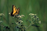 Eastern tiger swallowtail butterfly resting on boneset herbal flowers